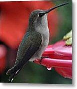 Hummingbird Anna's On Perch Metal Print