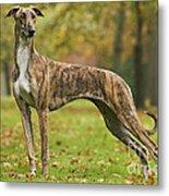 Hungarian Greyhound Metal Print