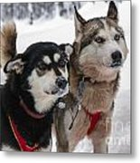 Husky Dogs Pull A Sledge  Metal Print by Lilach Weiss