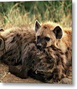 Hyene Tachetee Crocuta Crocuta Metal Print
