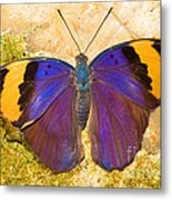 Indian Leaf Butterfly Metal Print