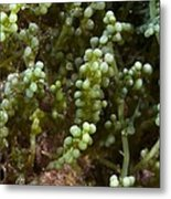 Invasive Seaweed Metal Print by Science Photo Library