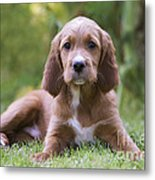 Irish Setter Puppy Metal Print