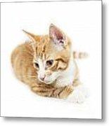 Isolated Ginger Kitten Metal Print