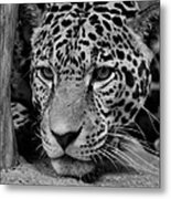 Jaguar In Black And White II Metal Print by Sandy Keeton