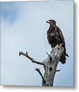 Juvenile Eagle Metal Print