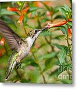 Juvenile Male Ruby-throated Hummingbird Metal Print