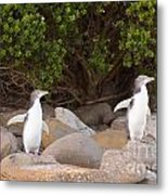 Juvenile Nz Yellow-eyed Penguins Or Hoiho On Shore Metal Print