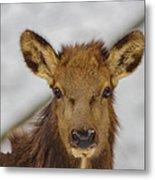 Juvenile Pa. Elk Metal Print