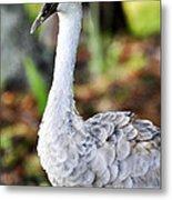 Juvenile Sandhill Crane Grus Canadensis Pratensis II Usa Metal Print