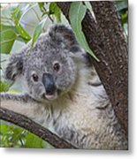 Koala Joey Australia Metal Print