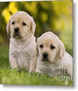 Labrador Puppies Metal Print