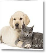 Labrador Puppy With Chartreux Kitten Metal Print
