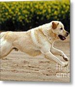 Labrador Retriever Dog Metal Print