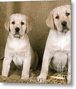 Labrador Retriever Puppies Metal Print