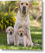 Labrador With Two Puppies Metal Print
