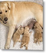 Labrador With Young Puppies Metal Print
