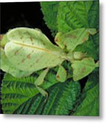 Leaf Insect Metal Print