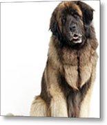 Leonberger Dog Metal Print