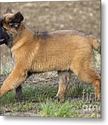 Leonberger Puppy Metal Print