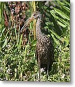Limpkin And Apple Snail Metal Print
