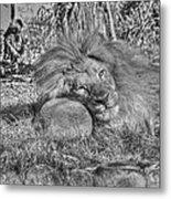 Lion In Repose Metal Print