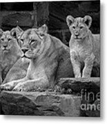 Lioness And Cubs Metal Print