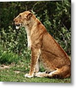 Lioness On The Masai Mara  Metal Print