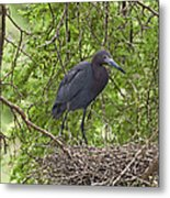 Little Blue Heron Nesting Texas Metal Print