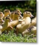 Yellow Muscovy Duck Ducklings Running In Hurry  Metal Print