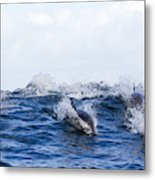 Long-beaked Common Dolphins Metal Print