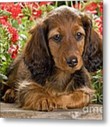 Long-haired Dachshund Metal Print