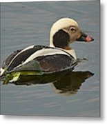 Long-tailed Duck Metal Print