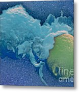 Macrophage Englufing Yeast Cell Metal Print by Biology Pics