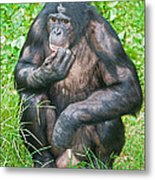 Male Bonobo Metal Print