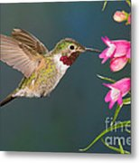 Male Broad-tailed Hummingbird Metal Print