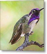 Male Costa Hummingbird Metal Print
