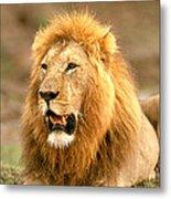 Male Lion Metal Print