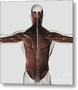 Male Muscle Anatomy Of The Human Back Metal Print