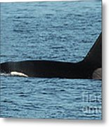 Male Orca Killer Whale In Monterey Bay California 2013 Metal Print
