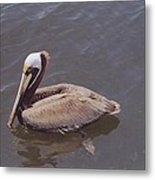 Male Pelican Metal Print