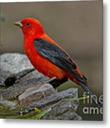 Male Scarlet Tanager Metal Print