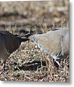 Male White Wing Doves Metal Print