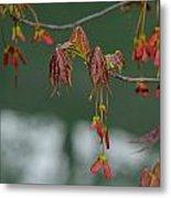 Maple Red Samaras Metal Print