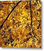 Maple Tree In Yellow Fall Colors Metal Print