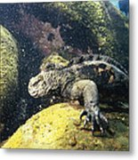 Marine Iguana Grazing On Seaweed Metal Print