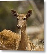 Mesopotamian Fallow Deer 3 Metal Print