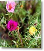 Mixed Portulaca Metal Print