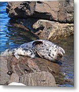 Mom And Baby Seal Metal Print