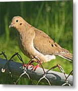 Morning Dove I Metal Print